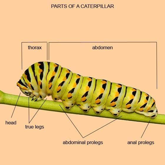 Caterpillar Diagram Label