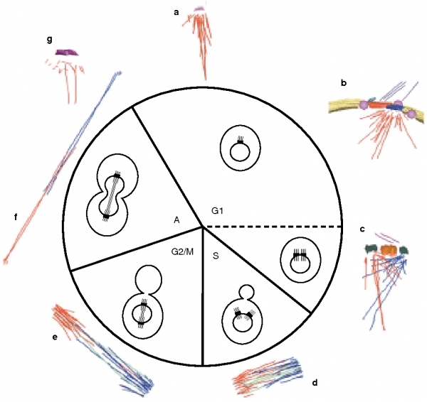 Figure 1 From The Spindle Cycle In Budding Yeast