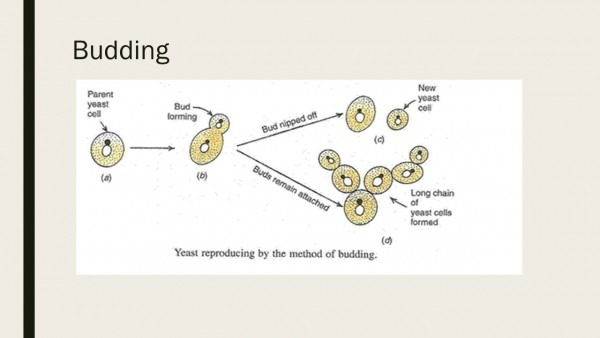 Yeast  Morphology And Life Cycle