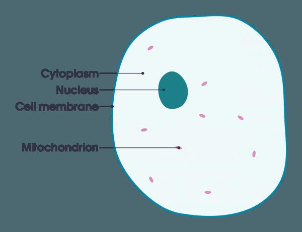 File Simple Diagram Of Animal Cell (en) Svg